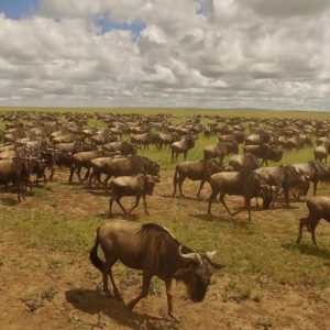 Wildebeest migration in Serengeti, Africa