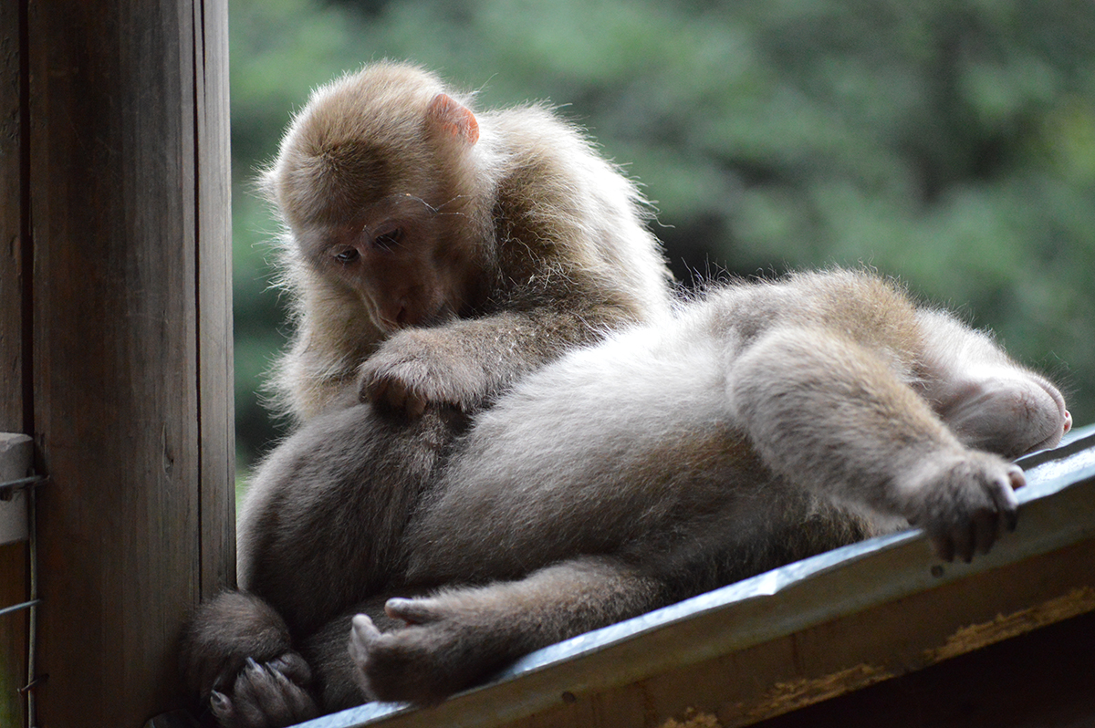 Wild juvenile Tibetan macaques, HuaXiaWei and TouRongXi, engage in affiliative grooming to forge and maintain social bonds at the Valley of the Wild Monkeys in Mt. Huangshan in the Anhui Province of China.