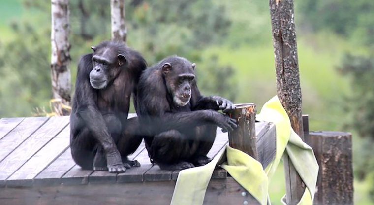 Adult female chimpanzees