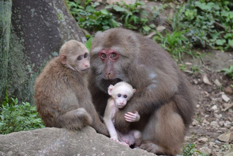 YeHong, a wild female Tibetan macaque.