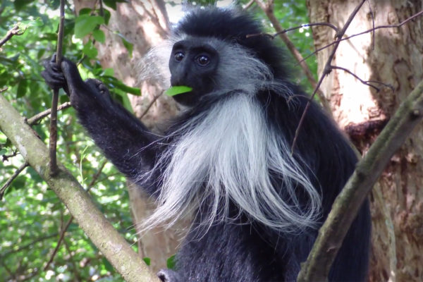 Solving the genetic mysteries of the colobus monkey