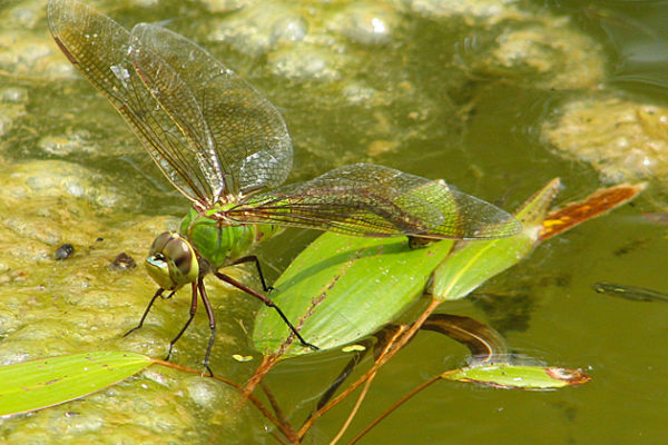 At Experiment Site, Dragonflies Key to Change