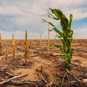 cornfield drought