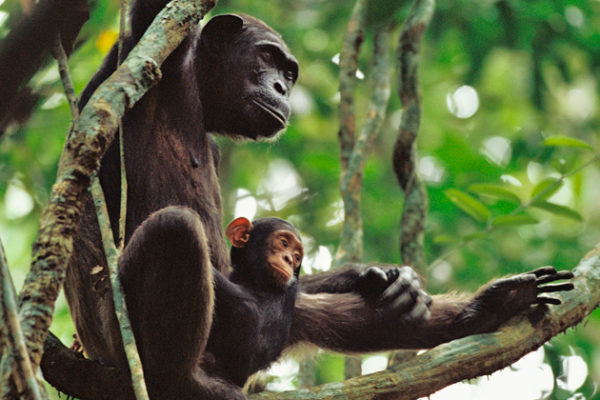 Protecting Wild Apes