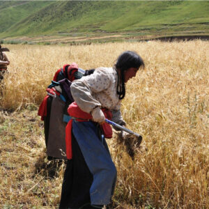 barley harvest in Tibet