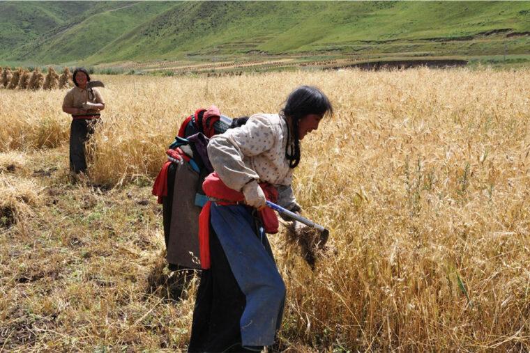 barley harvest in Tibet