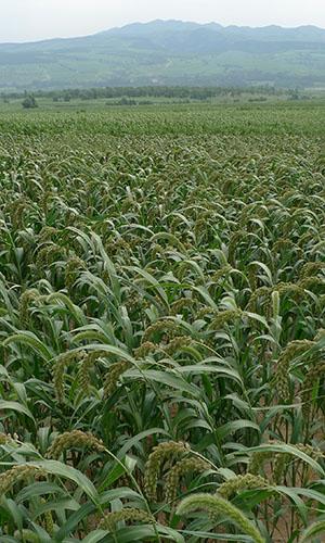 foxtail millet field