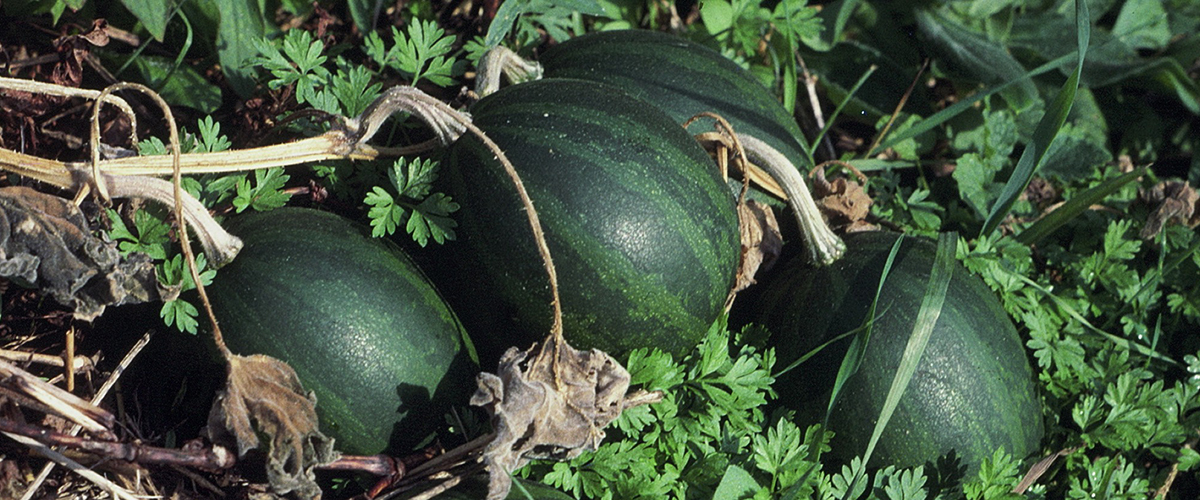 Cucurbita pepo gourds, such as these growing wild in the Illinois River Valley near Grafton, Ill., were one of the first plants to be domesticated by early Native Americans. Photo by Gayle Fritz.