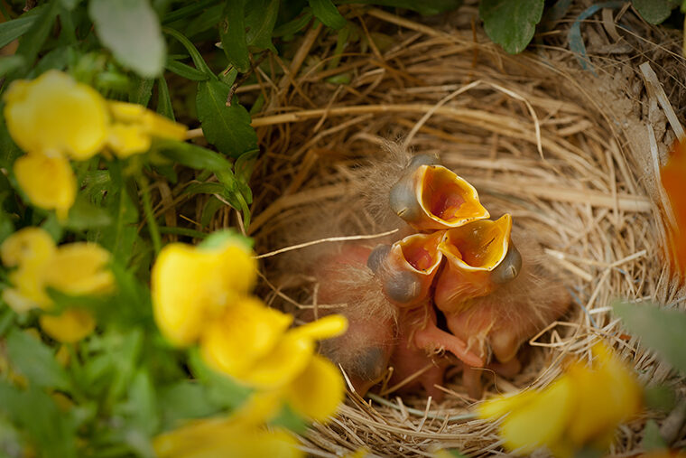Robins in nest