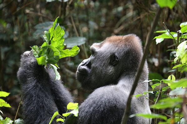 Forest landscapes, wildlife of Northern Congo declining under logging pressure