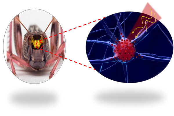 Light-activated nanoheaters may control nerve cells, locust mind