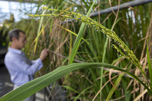 Rice, know thy enemy: NSF grants $2.6M to study weedy invader