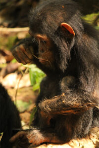 Infant chimpanzee