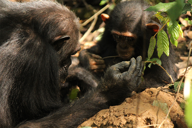 A mother chimpanzee uses a tool to get at termites as her child looks on