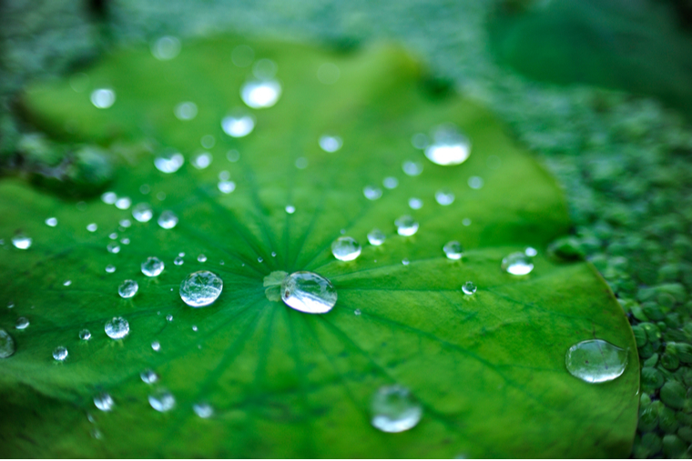 water droplets on the hydrophobic surface of a lotus leaf