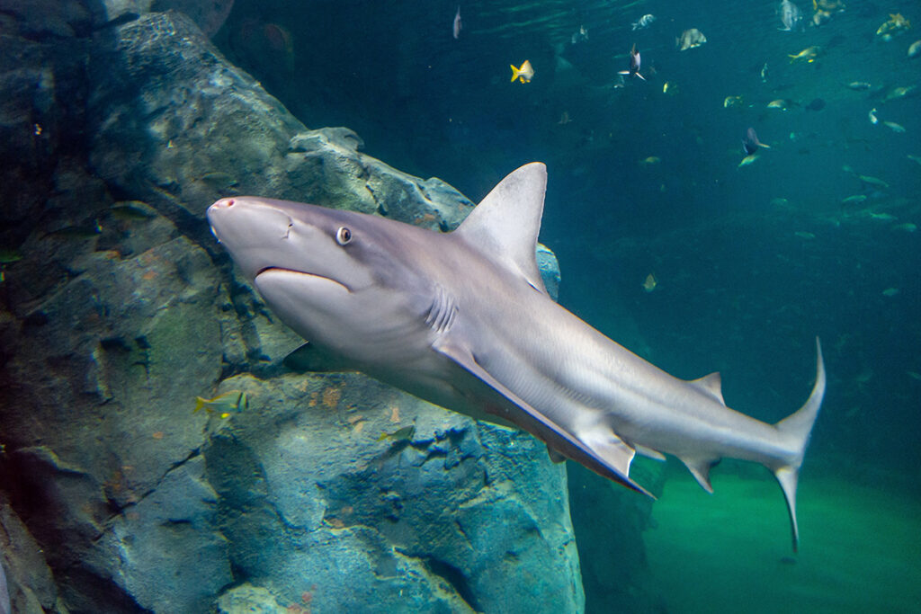 Shark Canyon at the St. Louis Aquarium at Union Station is a visitor favorite already. (Photo: Courtesy of St. Louis Union Station)