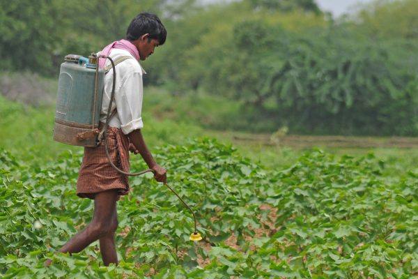 Long-term analysis shows GM cotton no match for insects in India