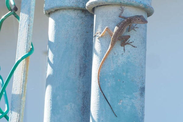 Hot time in the city: Urban lizards evolve heat tolerance