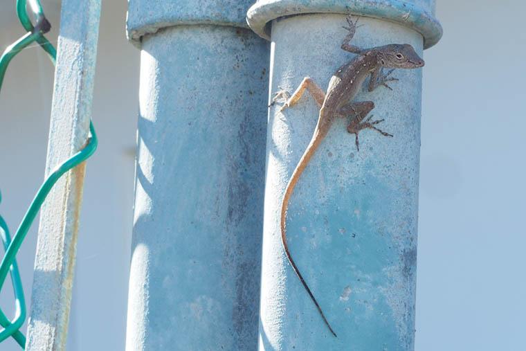 lizard on blue pipe near edge of fence