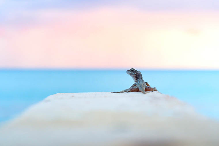 surprisingly glamorous lizard from behind in front of ocean sunset or sunrise