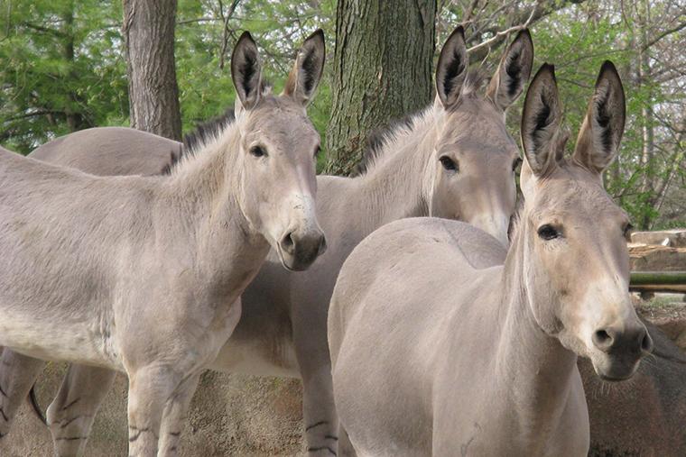 Donkey ancestors