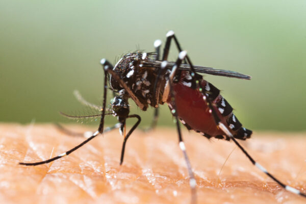 Gut bacteria protect against mosquito-borne viral illness