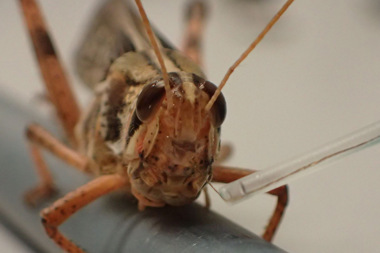 Locust with sensor