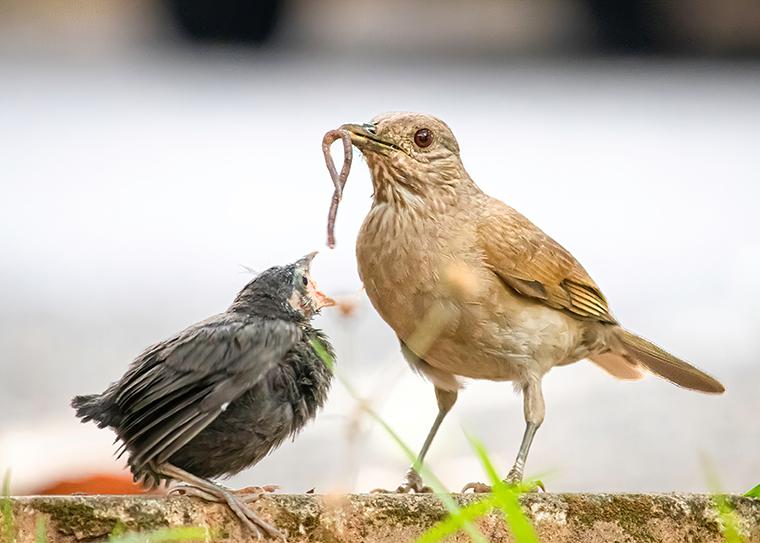 baby bird begs