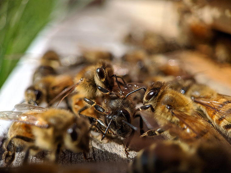 Bees pile on top of each other, crowding around the forager