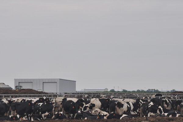 Sicker livestock may increase climatewoes