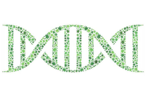 Uncovering genetic roots of marijuana use disorder