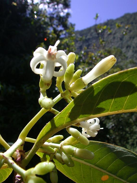 Psychotria hexandra