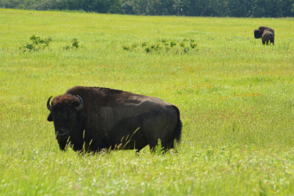 Secrets of the 'lost crops' revealed where bisonroam