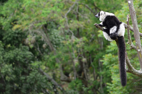 Tale of two forests could reveal path forward for lemurs