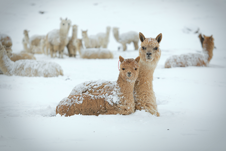 When unseasonal snow covers the ground, herders cannot feed their llamas and some die. (Photo: Tom Malkowicz)