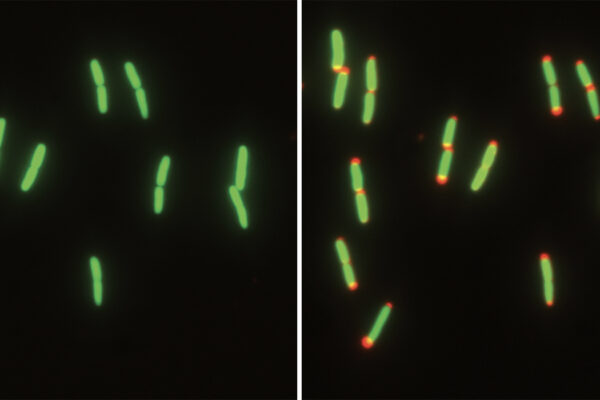 Shrinking to survive: Bacteria adapt to a lifestyle influx