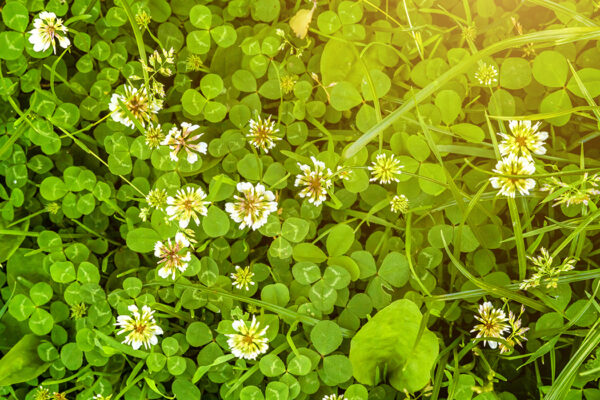 White clover's toxic tricks traced to its hybridization