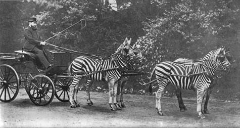 "Why weren't zebras ever domesticated? Baron Rothschild frequently drove a carriage pulled by zebras through the streets of 19th-century London. In ""Guns, Germs and Steel,"" Jared Diamond says the reason zebras were not domesticated is that they are extraordinarily vicious and will bite and not let go. But why weren't people able to modify this temperament if they were able to gentle wolves into dogs? [OUT OF COPYRIGHT/CREATIVE COMMONS LICENSE]"