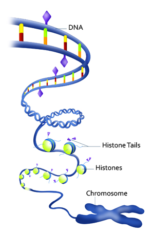 Dna Replication Unlabeled